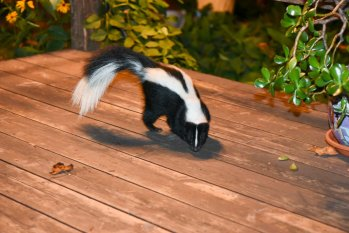 Skunk in the Jury Box! Court Refuses to Hear Appeal of Adverse Privilege Ruling. Here's Why